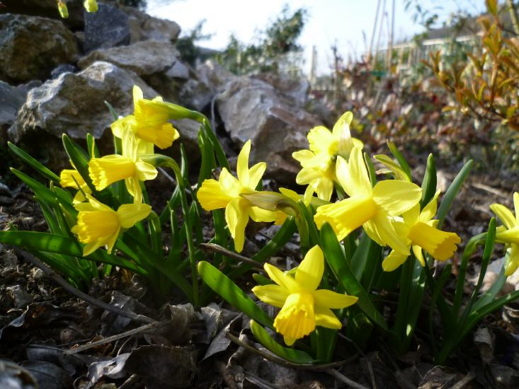 Narcissus cyclamineus Tete A Tete - Narzisse