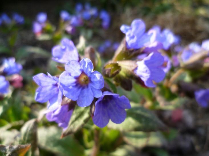 Pulmonaria angustifolia - Lungenkraut