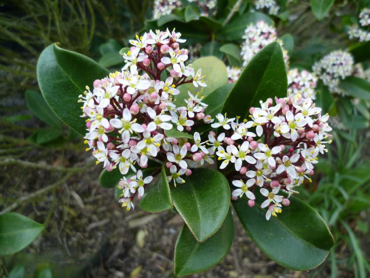 Shimmia japonica - Shimmie