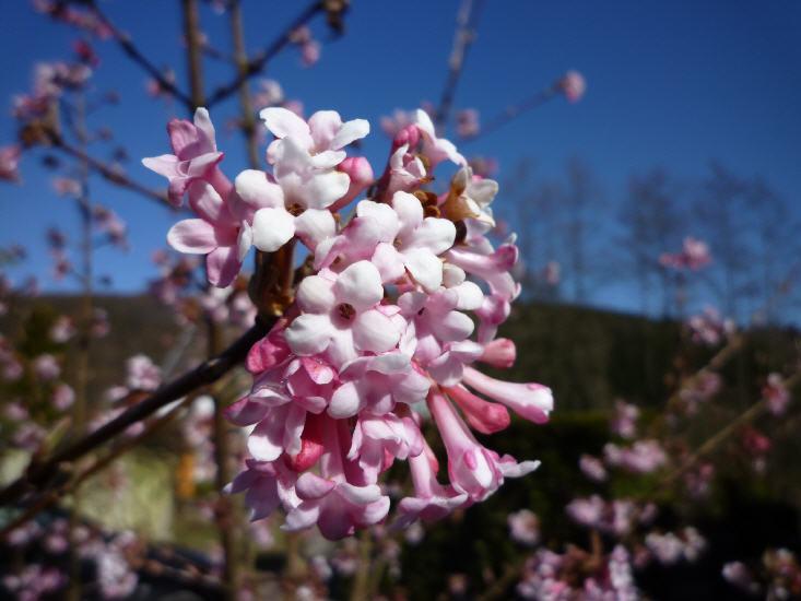 Viburnum bodnautense Dawn - Winter Schneeball
