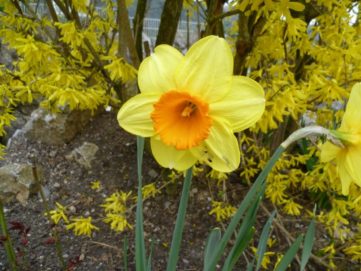Narcissus pseudonarcissus - Narzissen