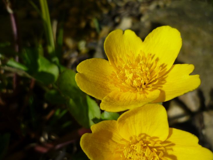 Calthe palustris - Sumpfdotterblume