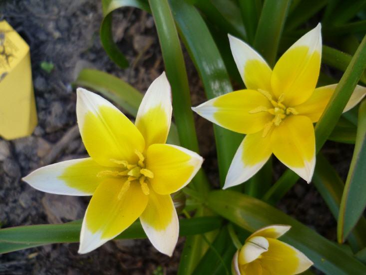 Tulipa trade - Tulpe