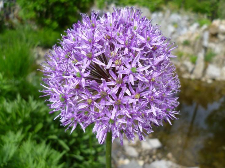 Allium Giganteum - Riesenlauch