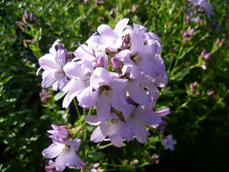 Campannula lactiflora Looldon Anne - Dolden Glockenblume