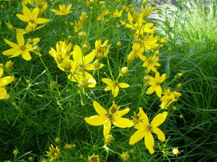 Coreopsis verticillaten Graudiflora - Märchenauge