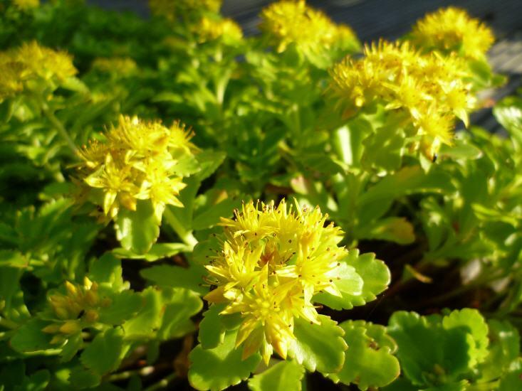 Sedum floriaferum Weinstephaner Gold - Gold-Fetthenne