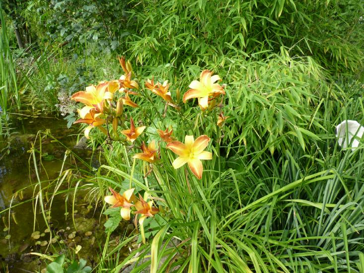 Hemerocallis - Hybride - Taglilie